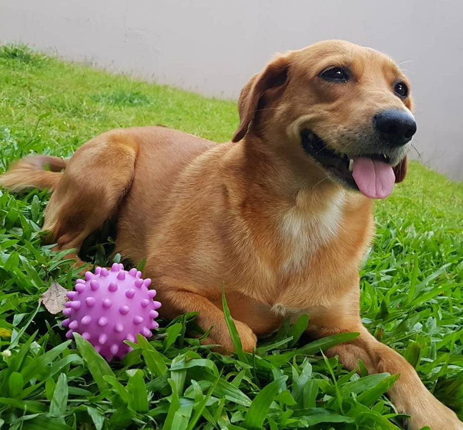 happy dog in grass with purple toy