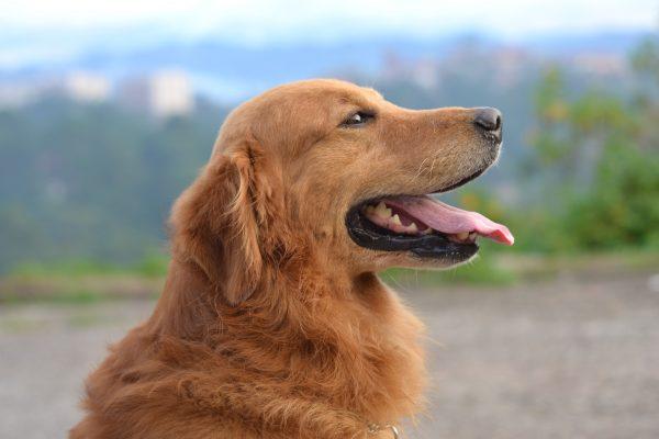 brown dog at mountains
